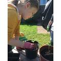 Handling the seedlings carefully
