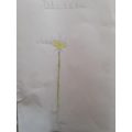Dandelion diagram by Codie