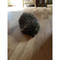 Friendly Hedgehog