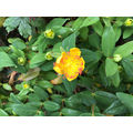 Hypericum also called Rose of Sharon