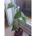 Wow - look at Megan's really healthy bean plant!