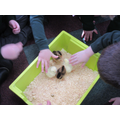 Chicks which school have had in an incubator