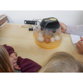 We put the eggs into an incubator.