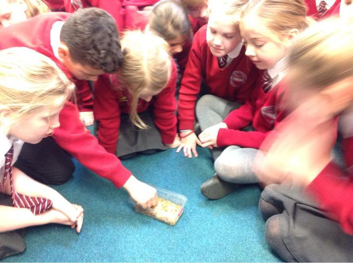 Year 4 studying mealworms