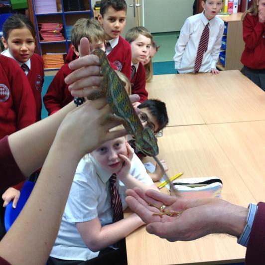 Feeding time for the chameleon