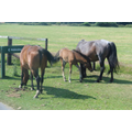 New forest horses.
