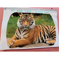 Aleena created an information text about Tigers!