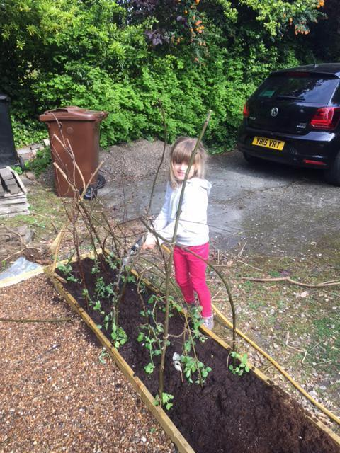 Isabelle planting pea plants and strawberries