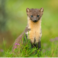 Weasel or Stoat (They look very similar except one has a black tail. Find out which...