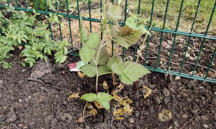 Logenberrys