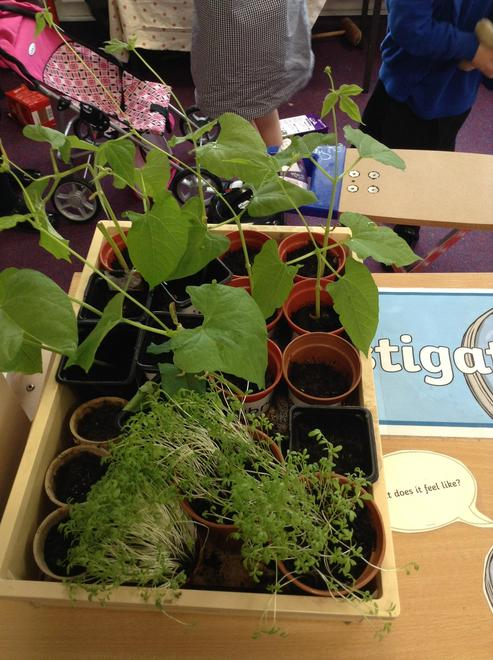 See how much our plants have grown over the last 4 weeks!