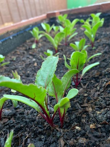 Miss Whelan has been busy growing beetroot.