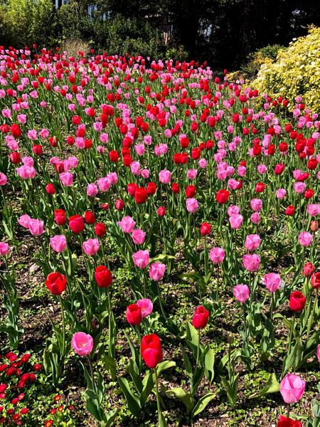 Beautiful Tulips spotted on Miss Smith's walk.