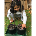 Dua carefully planting her Larchfield sunflower