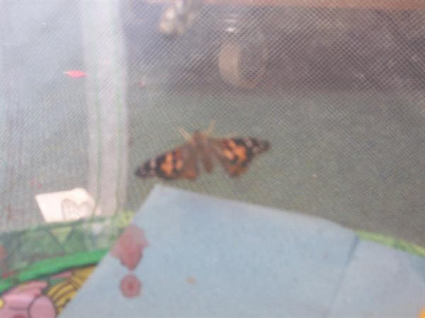Look at our gorgeous painted lady butterflies