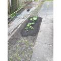 Split & replanted rhubarb.