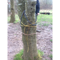 Tying ropes around trees.