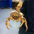 Mrs. Bumblebee the Spider crab