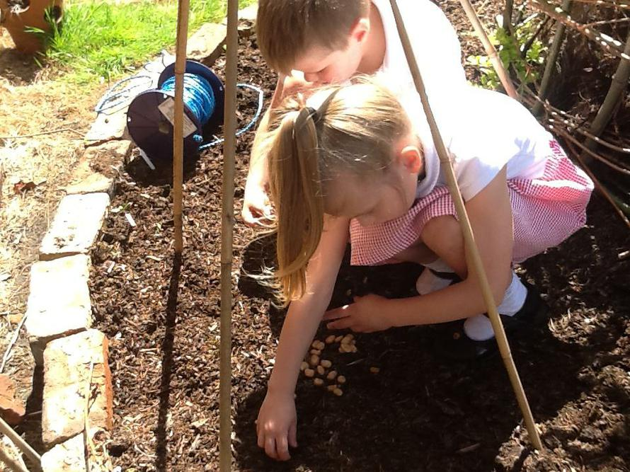 They then planted broad bean seeds.