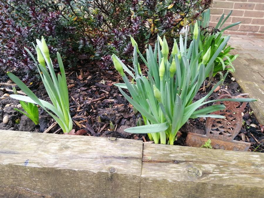 Ley Hill daffodils