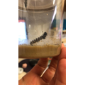 Our caterpillars are getting bigger by the day!
