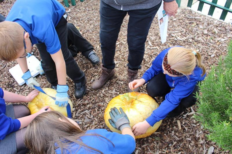 We measured our pumpkins