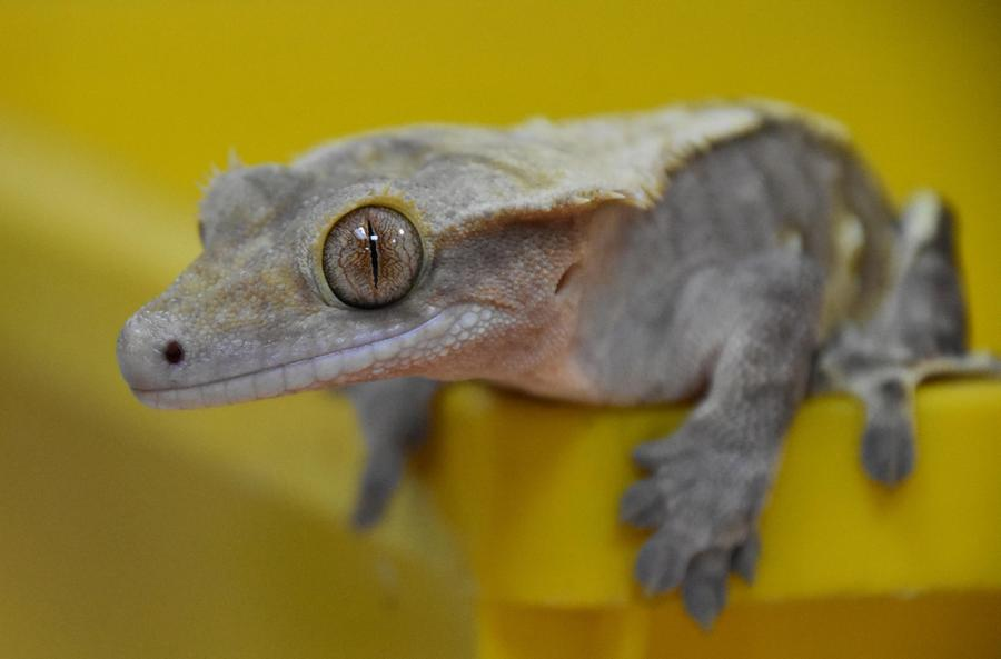 Gary - our male crested gecko