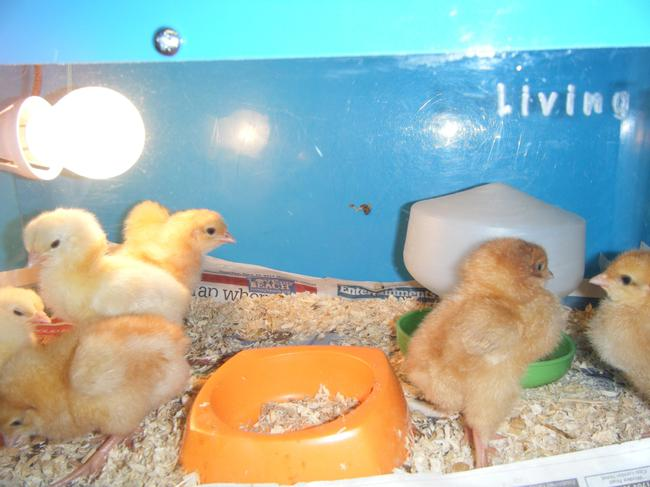 The chicks moved into a box with a lamp.