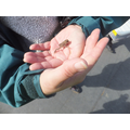A small toad found - not a natterjack sadly.
