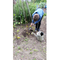 Sam has been planting runner beans and beetroot.