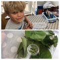 Alex is nurturing his eye hawked Moth caterpillars