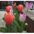 Evan saw some stunning orange tulips in his garden