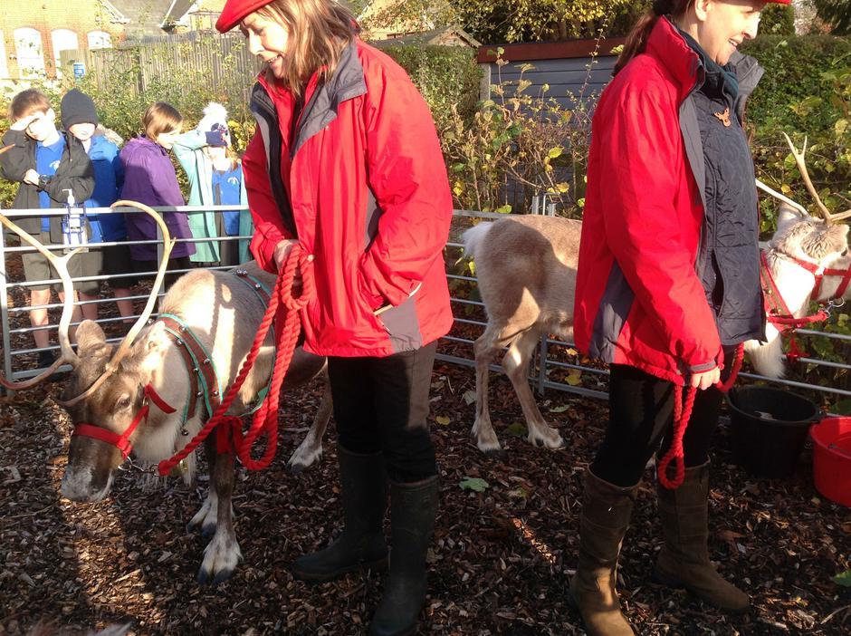 Our  reindeer  visitors