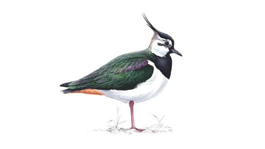 Welcome to Lapwing Class