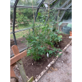 Tomatoes and cucumbers growing well in the greenhouse