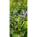 Bluebells in the Forest School