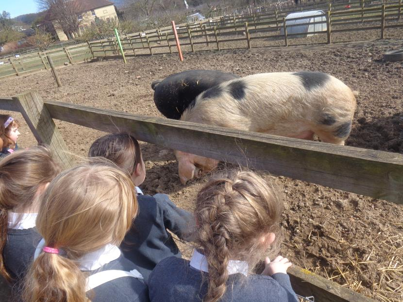 Having a look at the pigs
