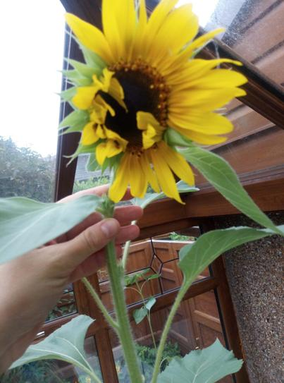 A beautiful sunflower. What colours can you see?