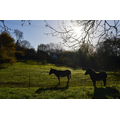 The Loxley donkeys