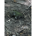 TG: Spotted a giant toad!