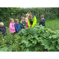 Picking rhubarb.