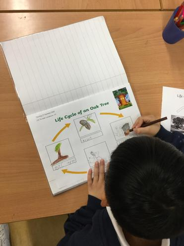 Drawing the life cycle of an oak tree.
