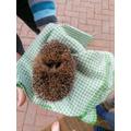 Hollie -hedgehog recue