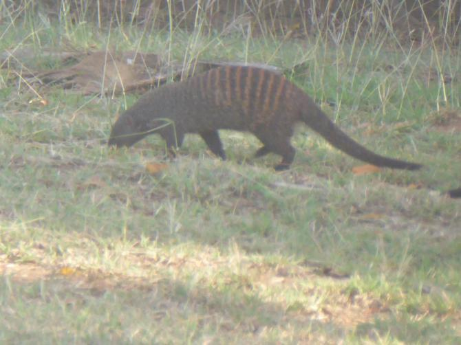 A mongoose in the hotel garden