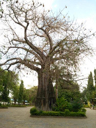 A Baobab (Upside down) tree