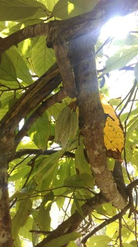 Very unripe cocoa beans - no chocolate yet!