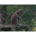 Munchkin the Lynx