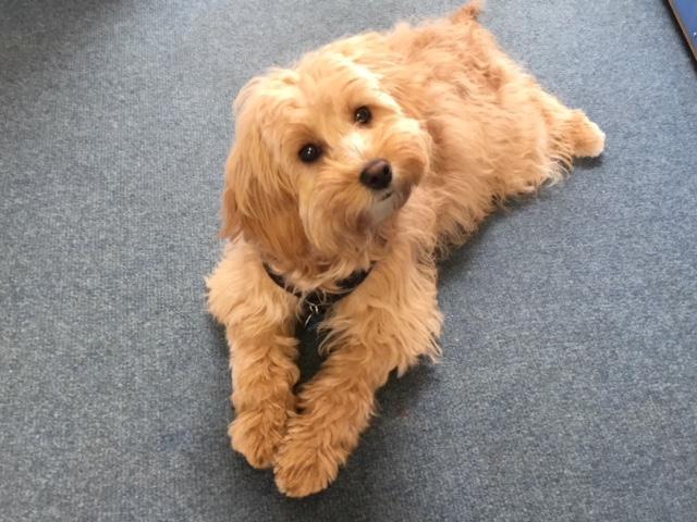 Maggie - School Dog