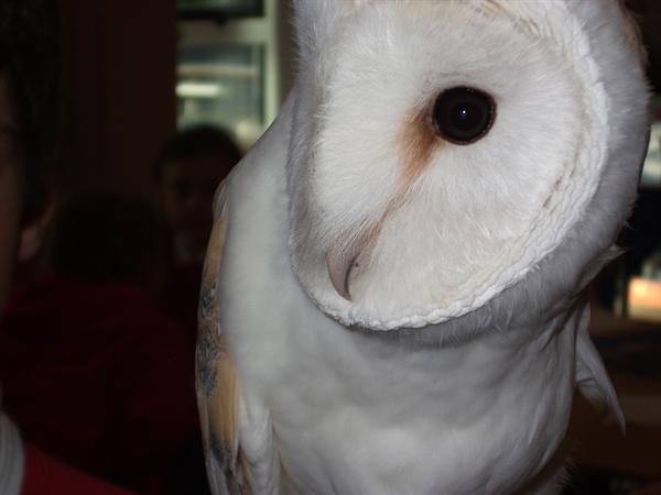 PK the barn owl