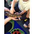 Sheila - a Blue Tongued Skink from Australia